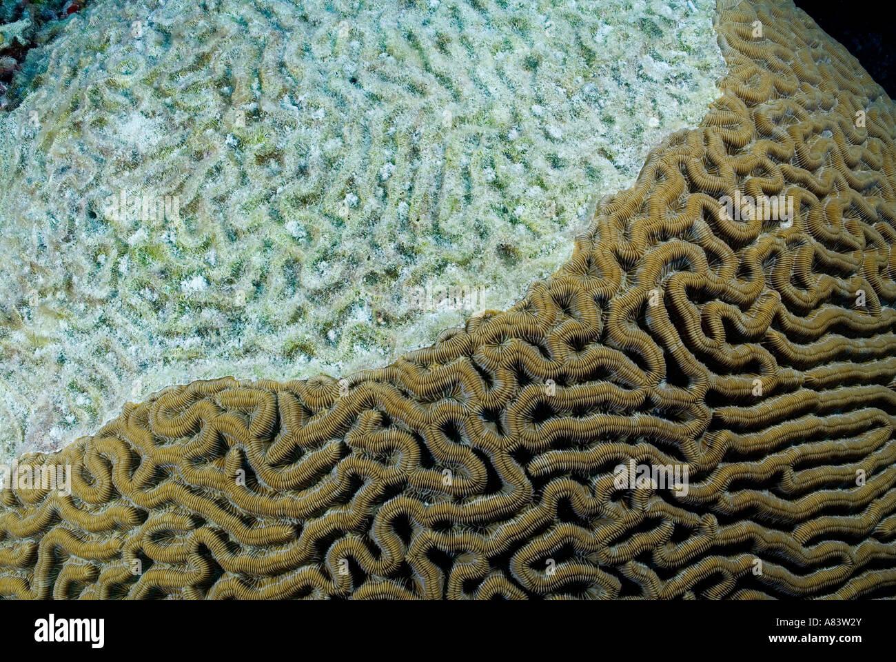 Morir en el arrecife de coral duro avance Oriente Caye debido desde ...