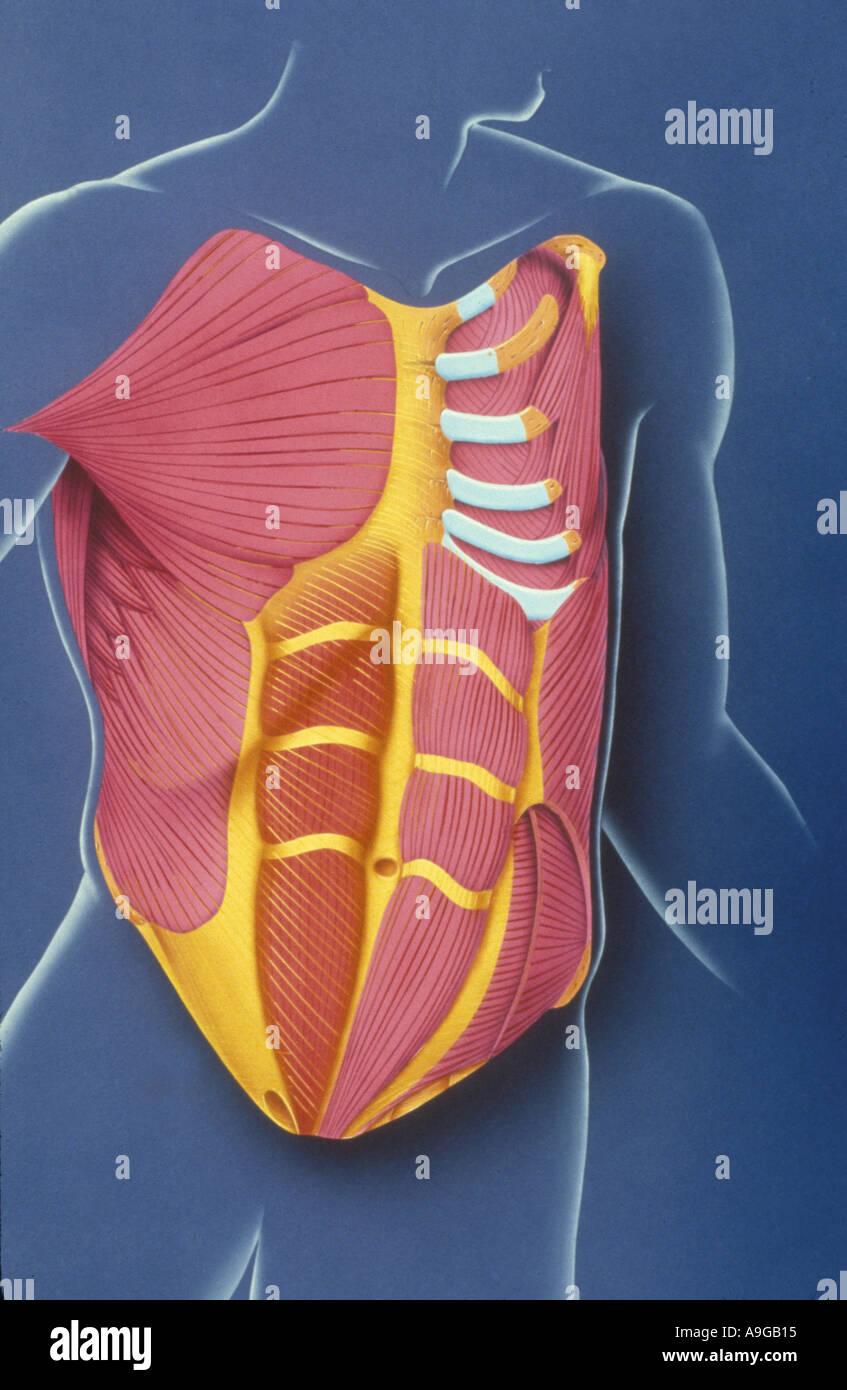 Ilustración de Derechos Anatiomy Capas de pecho anatomía y músculo ...