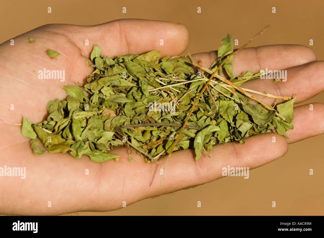 Las Hojas De La Planta Lawsonia Utilizado Para Hacer Disenos De
