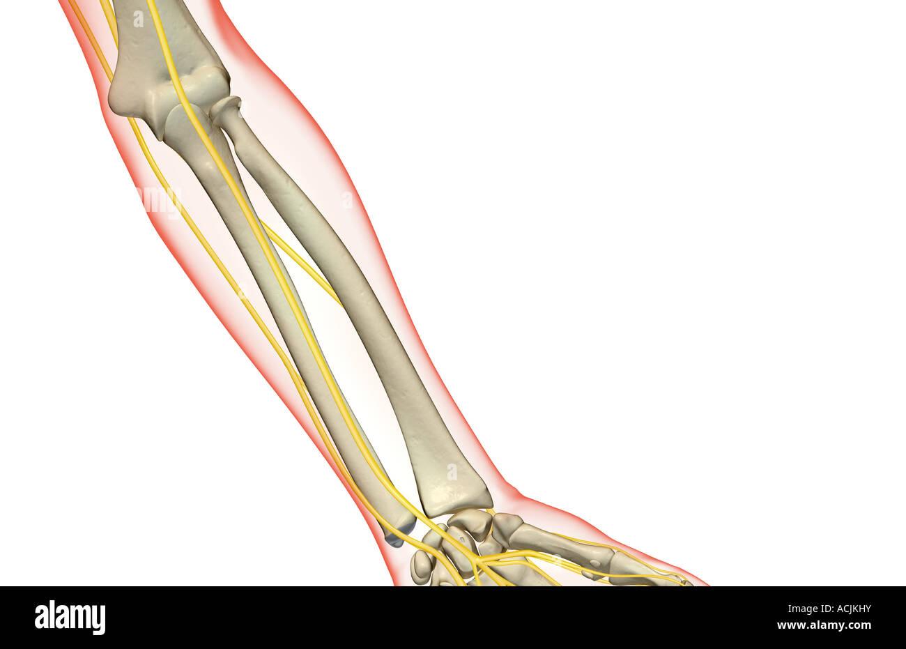 Los nervios del antebrazo Foto & Imagen De Stock: 13171526 - Alamy
