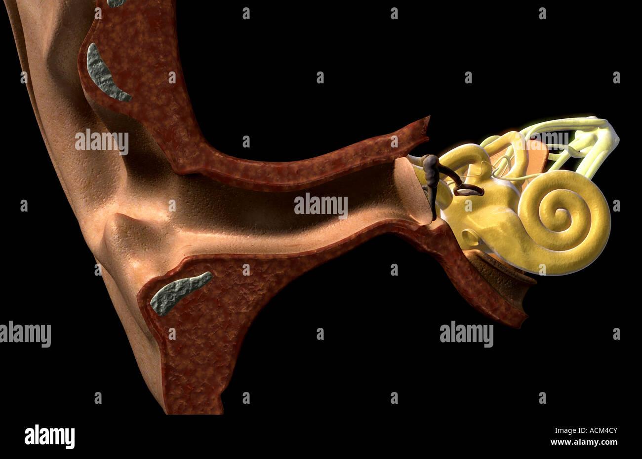 Anatomía del oído Foto & Imagen De Stock: 13185242 - Alamy
