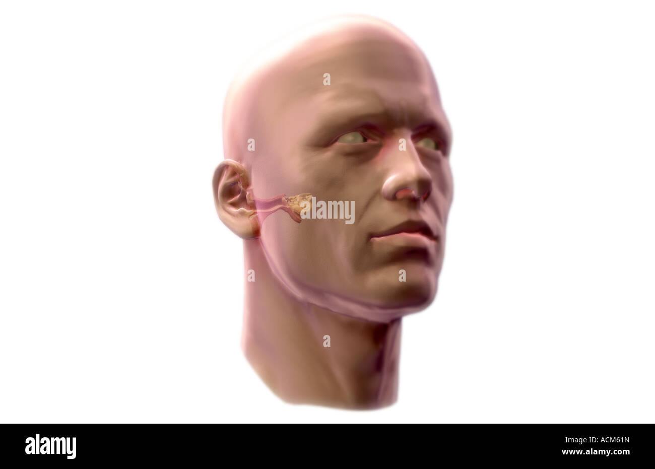 Anatomía del oído Foto & Imagen De Stock: 13185776 - Alamy