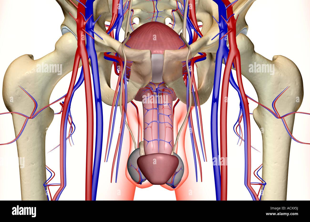 El suministro de sangre de los órganos reproductores masculinos Foto ...