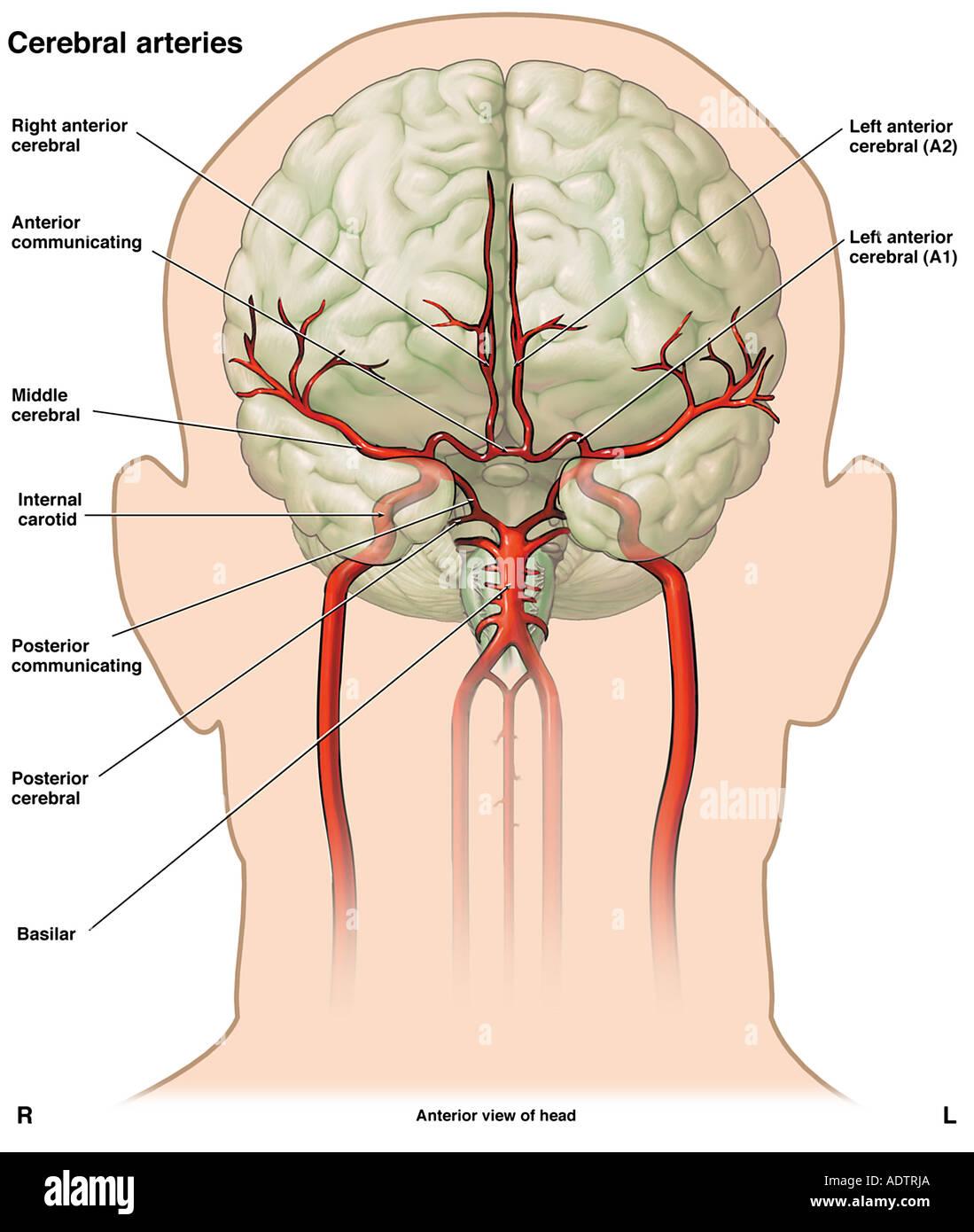 Anatomía de la vasculatura cerebral Foto & Imagen De Stock: 7710057 ...