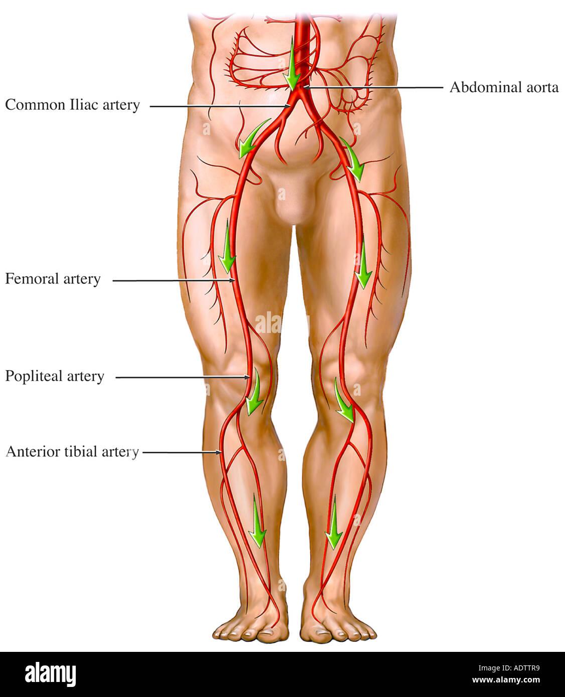 Lujo Anatomía Arterial Galería - Imágenes de Anatomía Humana ...