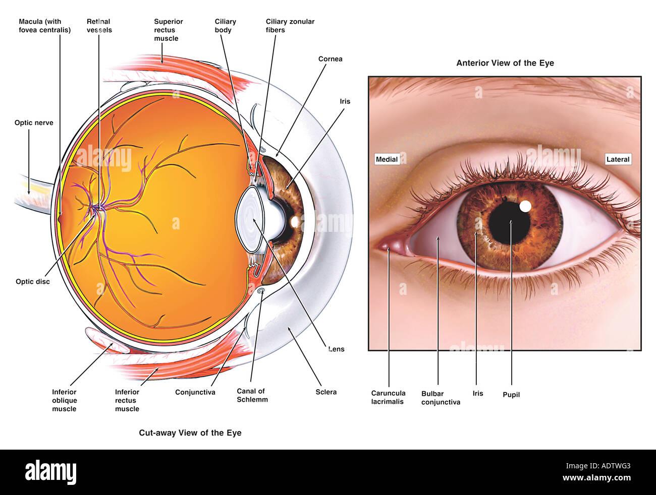Anatomía del ojo Foto & Imagen De Stock: 7710402 - Alamy
