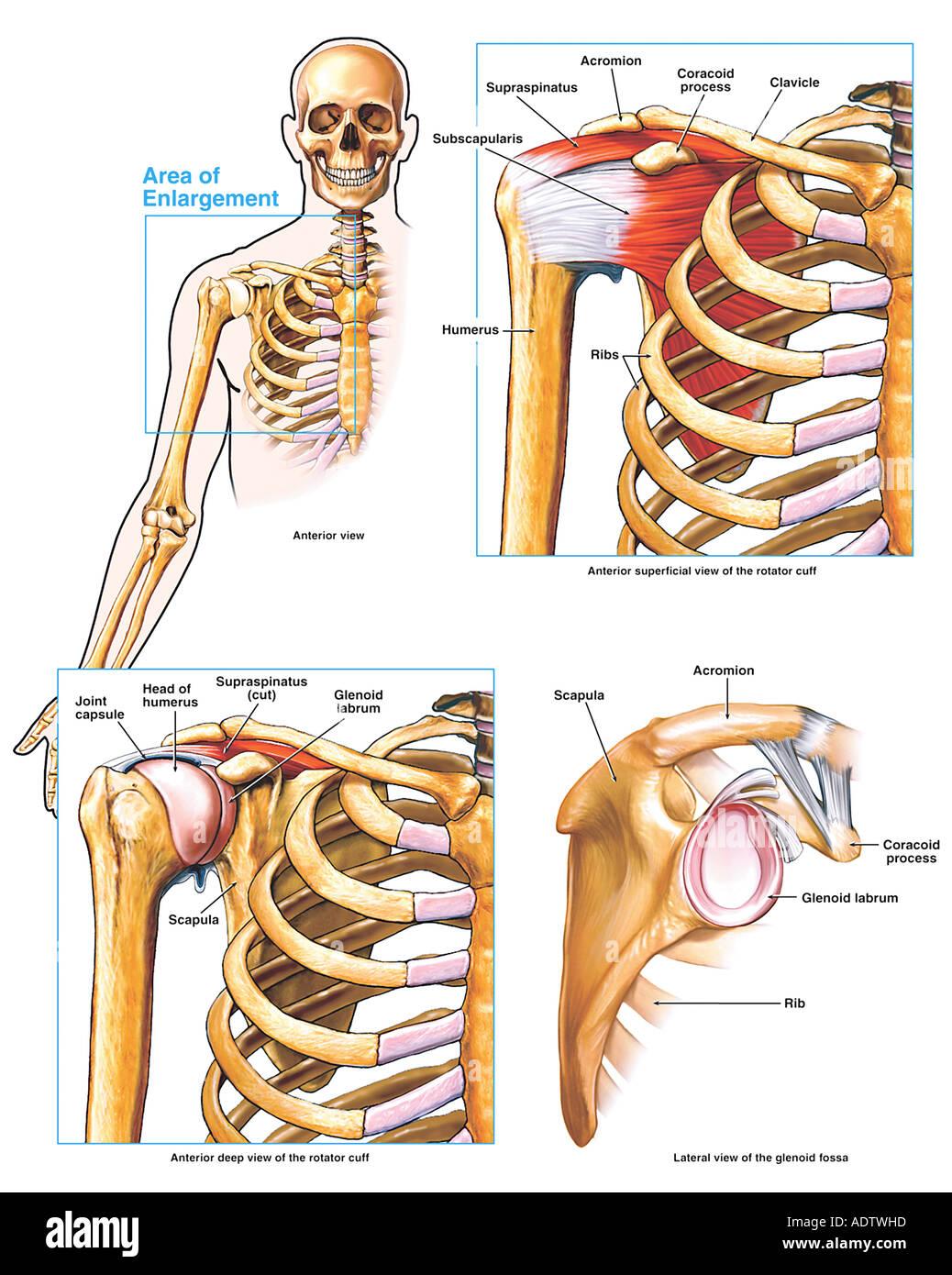 Anatomía del hombro y el manguito rotador Foto & Imagen De Stock ...