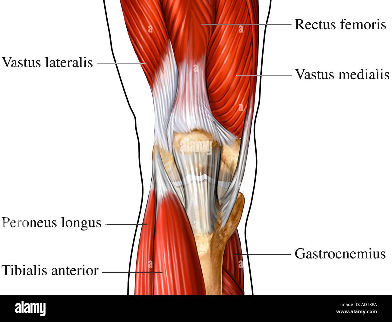 Image result for musculos rodilla