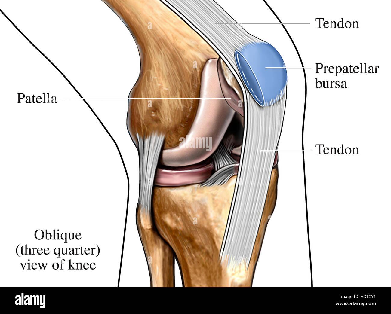 Bursa y los tendones de la rodilla Foto & Imagen De Stock: 7710768 ...