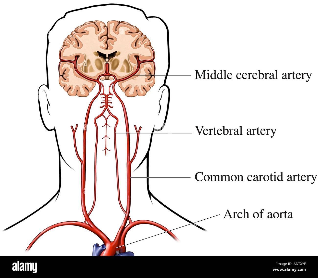 El suministro de sangre al cerebro Foto & Imagen De Stock: 7710782 ...