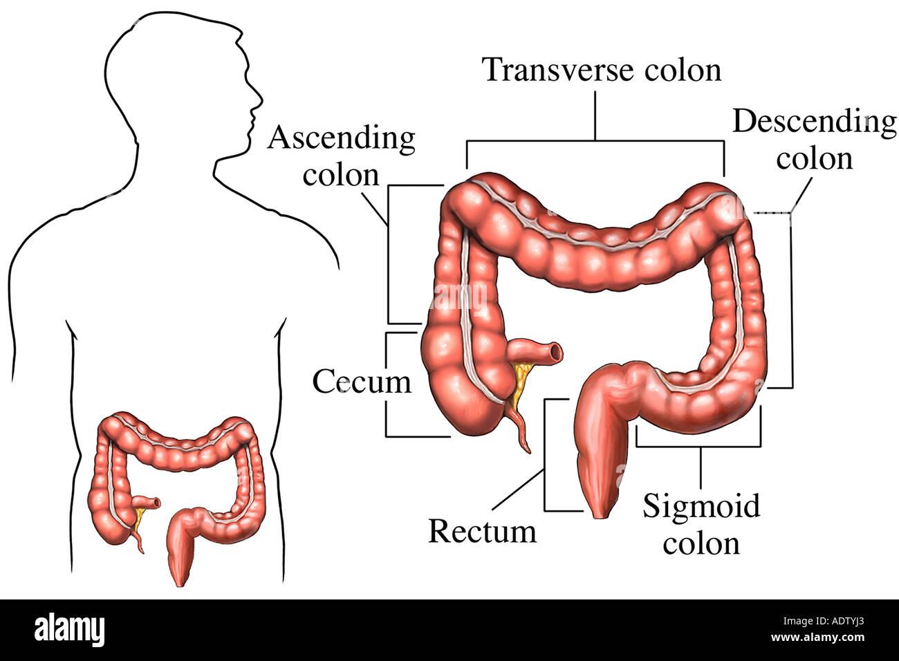 Anatomía normal del intestino grueso Foto & Imagen De Stock: 7710818 ...