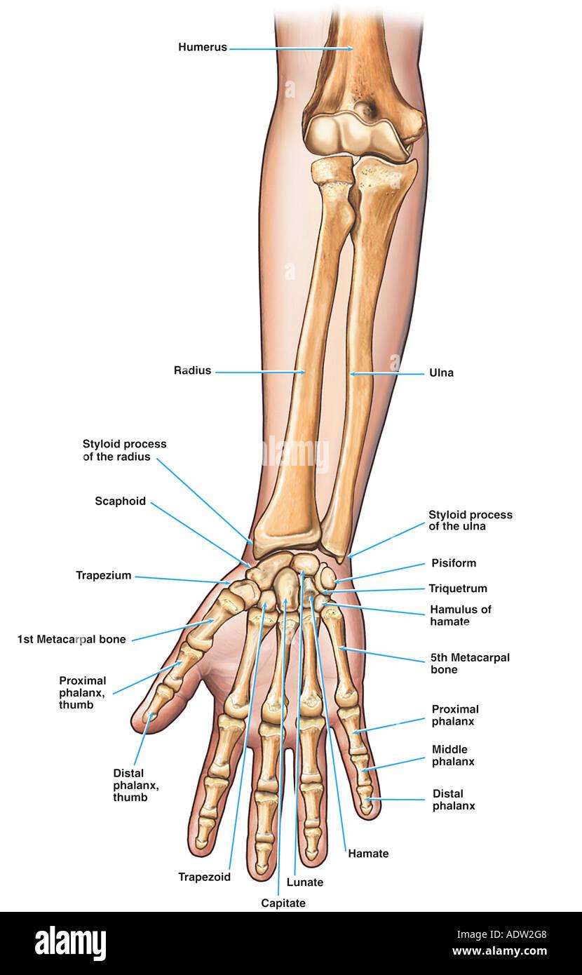 Anatomía del antebrazo (brazo) y huesos de la mano Foto & Imagen De ...