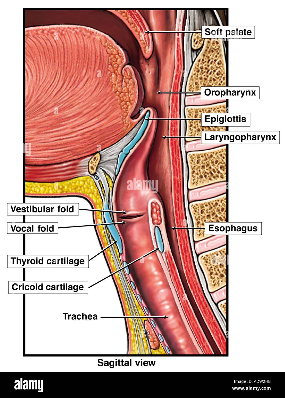 Anatomía del tracto respiratorio superior Foto & Imagen De Stock ...