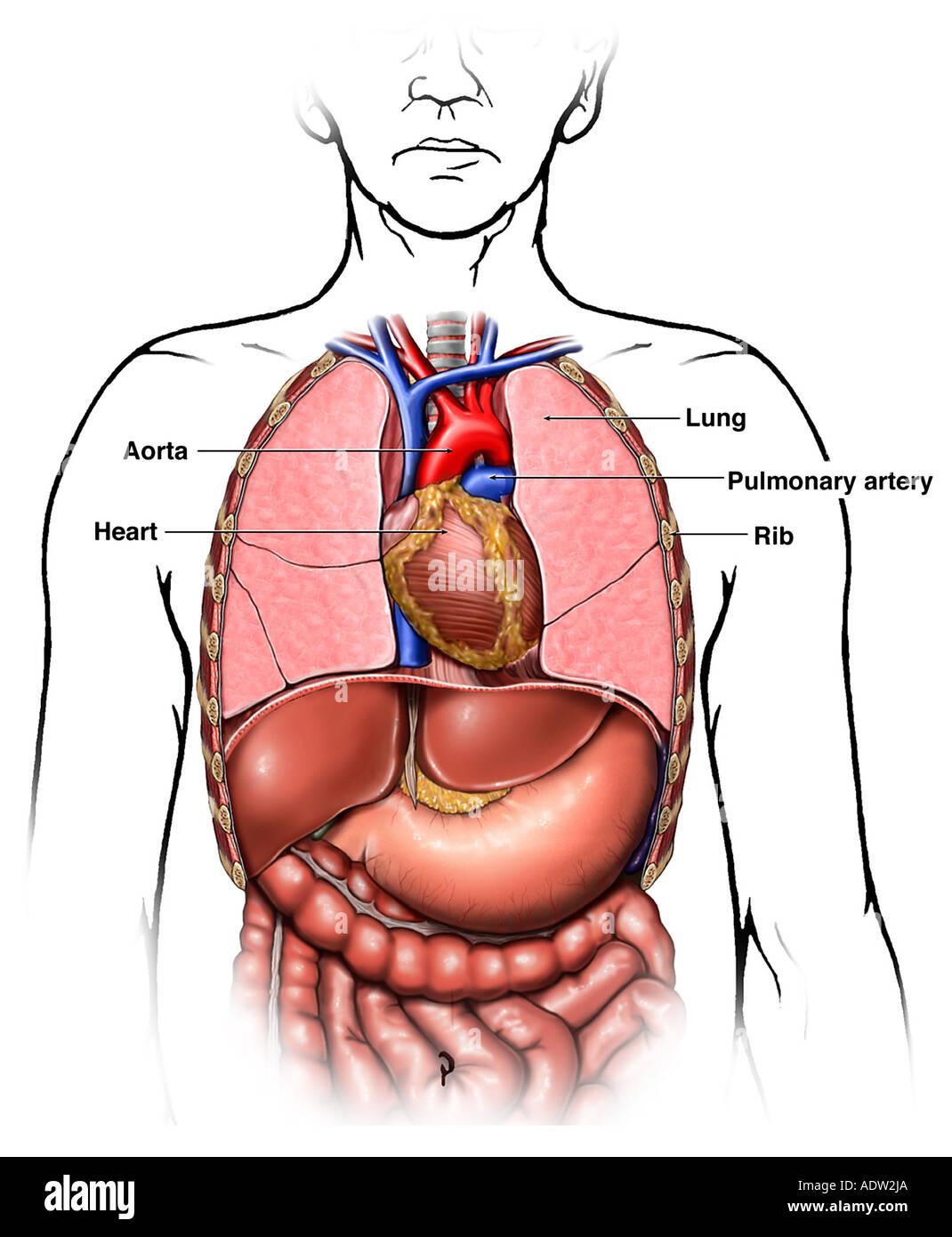 Anatomía de los órganos torácica (pecho Foto & Imagen De Stock ...