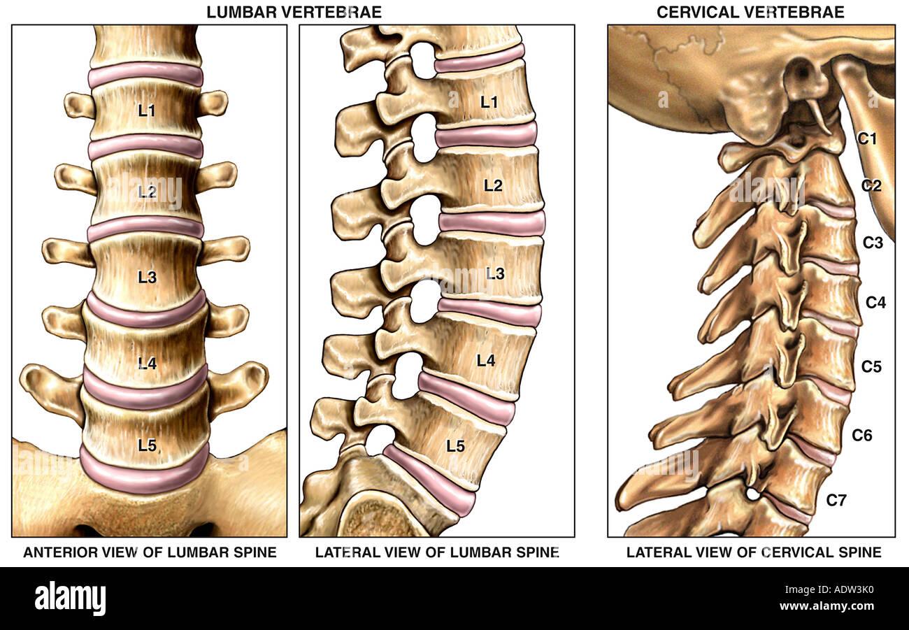 Anatomía normal de las regiones cervical y lumbar de la columna ...