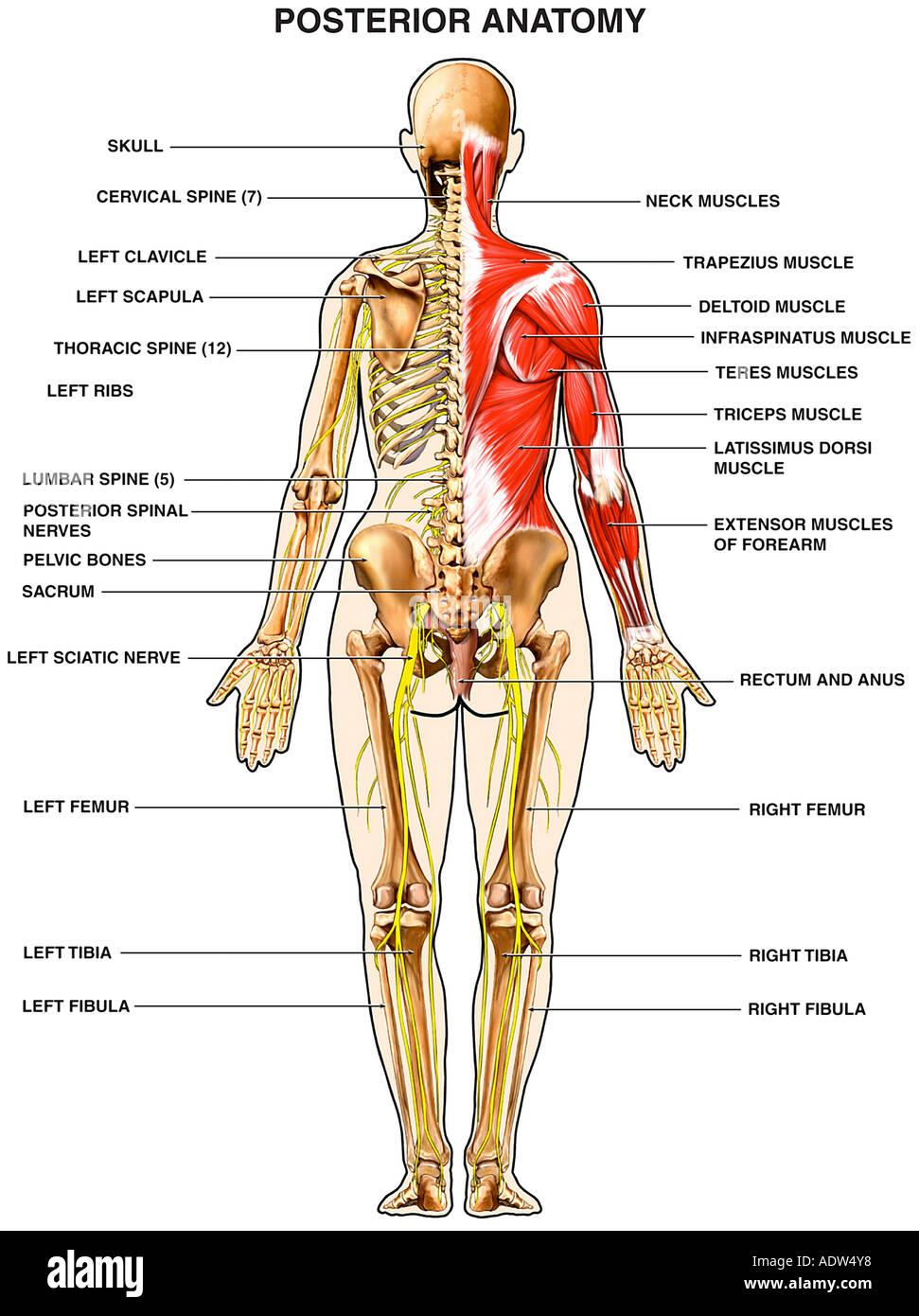 Anatomía Humana - Los músculos de la espalda Foto & Imagen De Stock ...