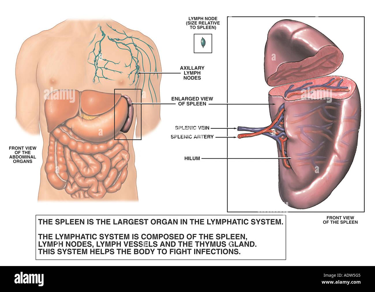 Anatomía del bazo Foto & Imagen De Stock: 7711940 - Alamy