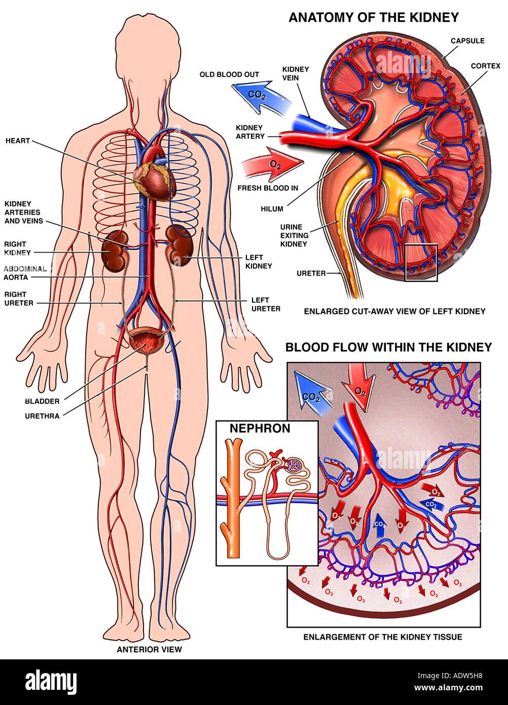 Anatomía fisiología renal nefrona vejiga Foto & Imagen De Stock ...