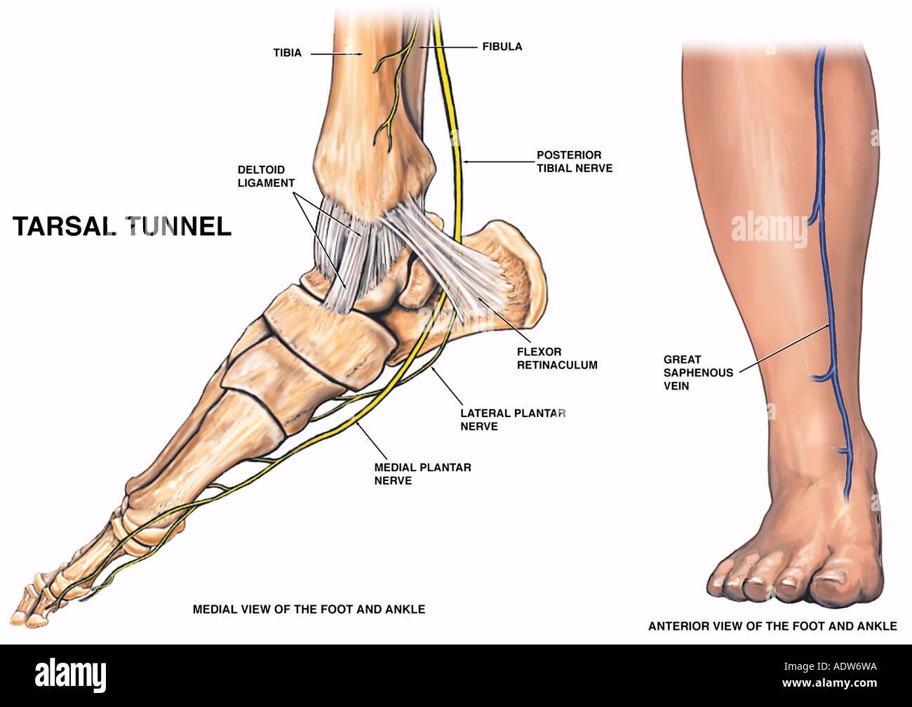 Anatomía de la parte inferior de la pierna y el pie Foto & Imagen De ...