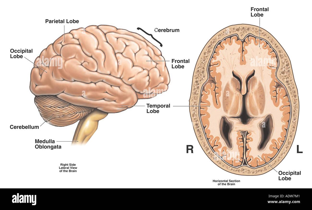 Anatomía del cerebro Foto & Imagen De Stock: 7712384 - Alamy