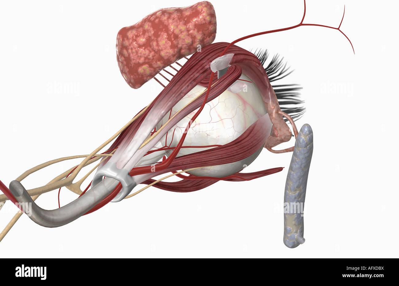 Anatomía del ojo externo Foto & Imagen De Stock: 14034973 - Alamy