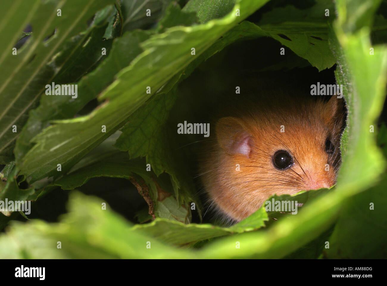 (Muscardinus avellanarius Hazel lirón) Imagen De Stock