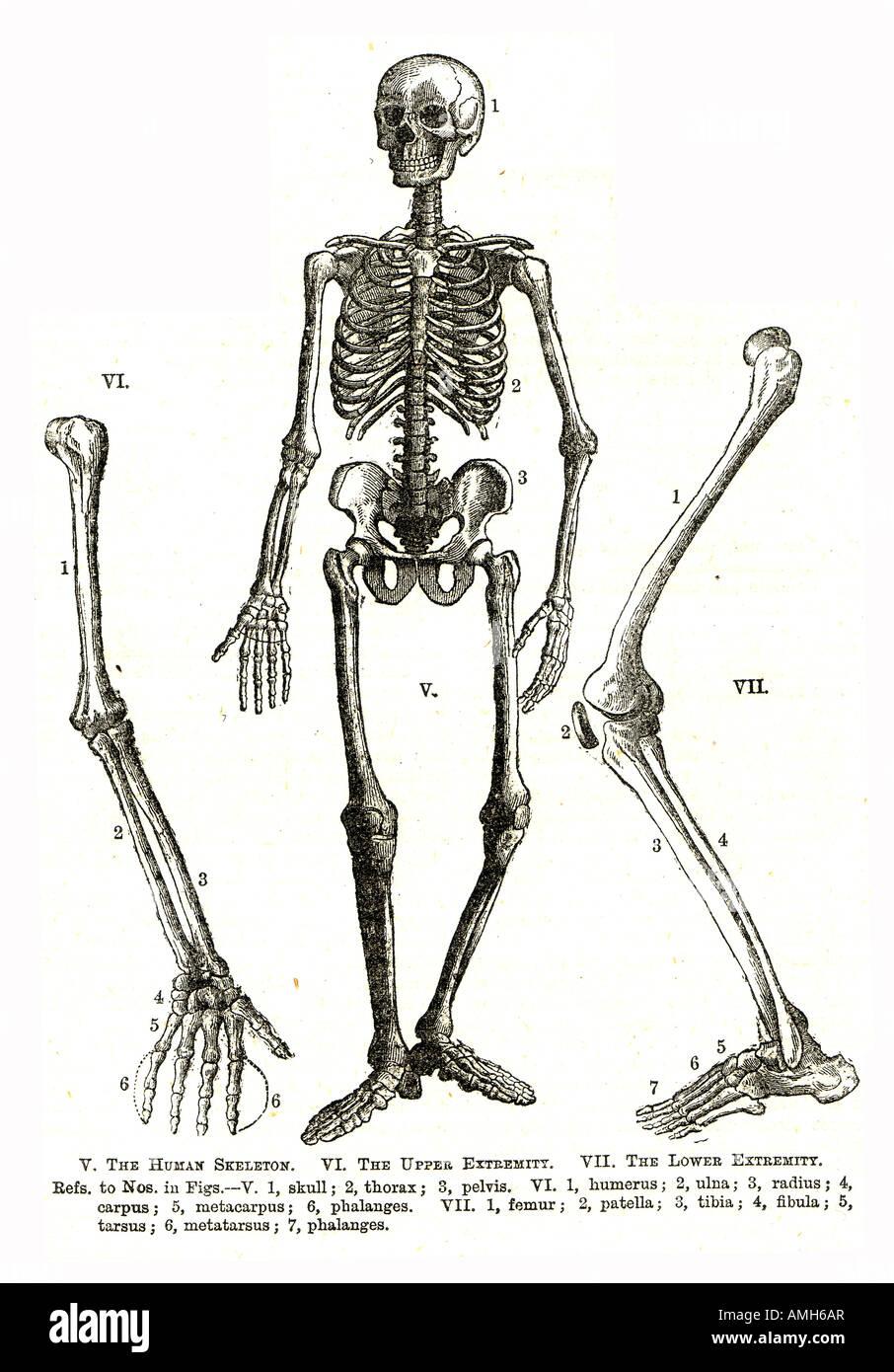 El esqueleto de la extremidad inferior superior anatomía humana ...