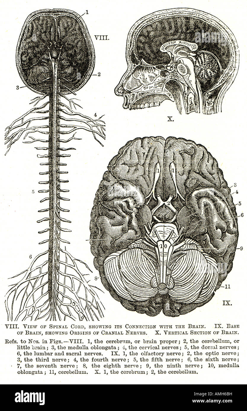 El sistema nervioso cerebro espinal nervio craneal cerebro gráfico ...