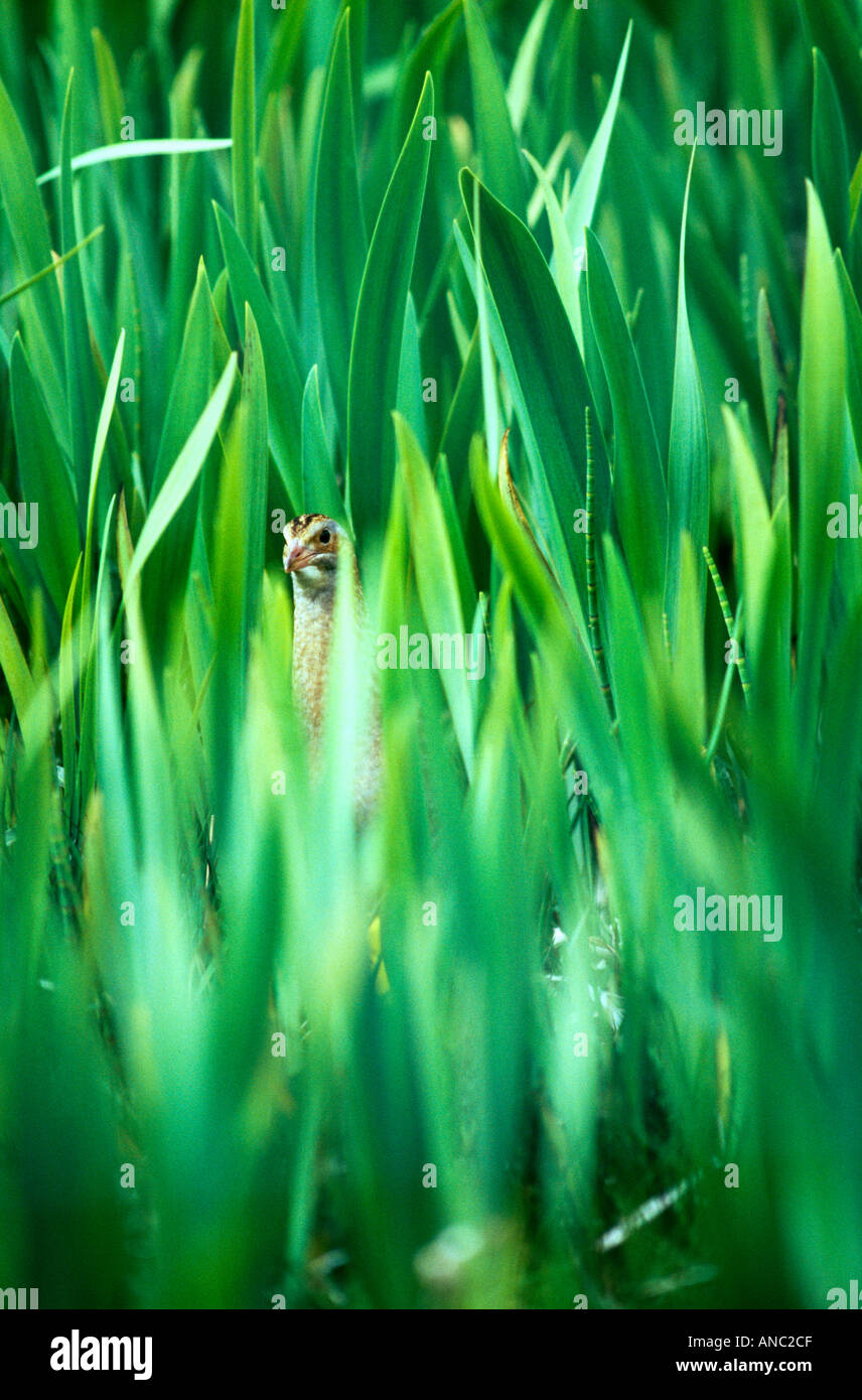 Guión de codornices Crex crex oculto en Iris cama reserva RSPB Balranald North Uist Outer Hebrides de Escocia Imagen De Stock