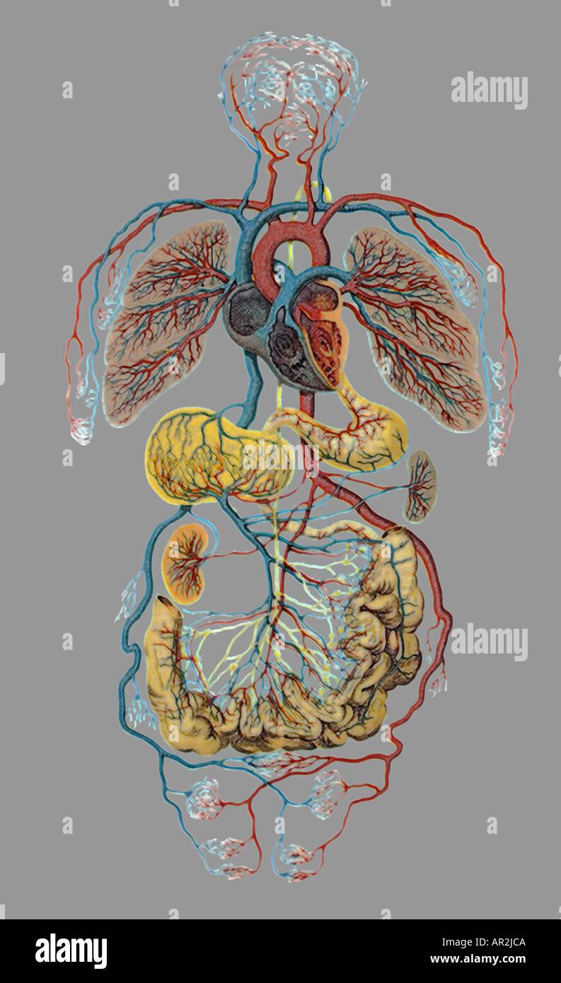 Ilustración anatómica humana histórica mostrando el corazón, los ...