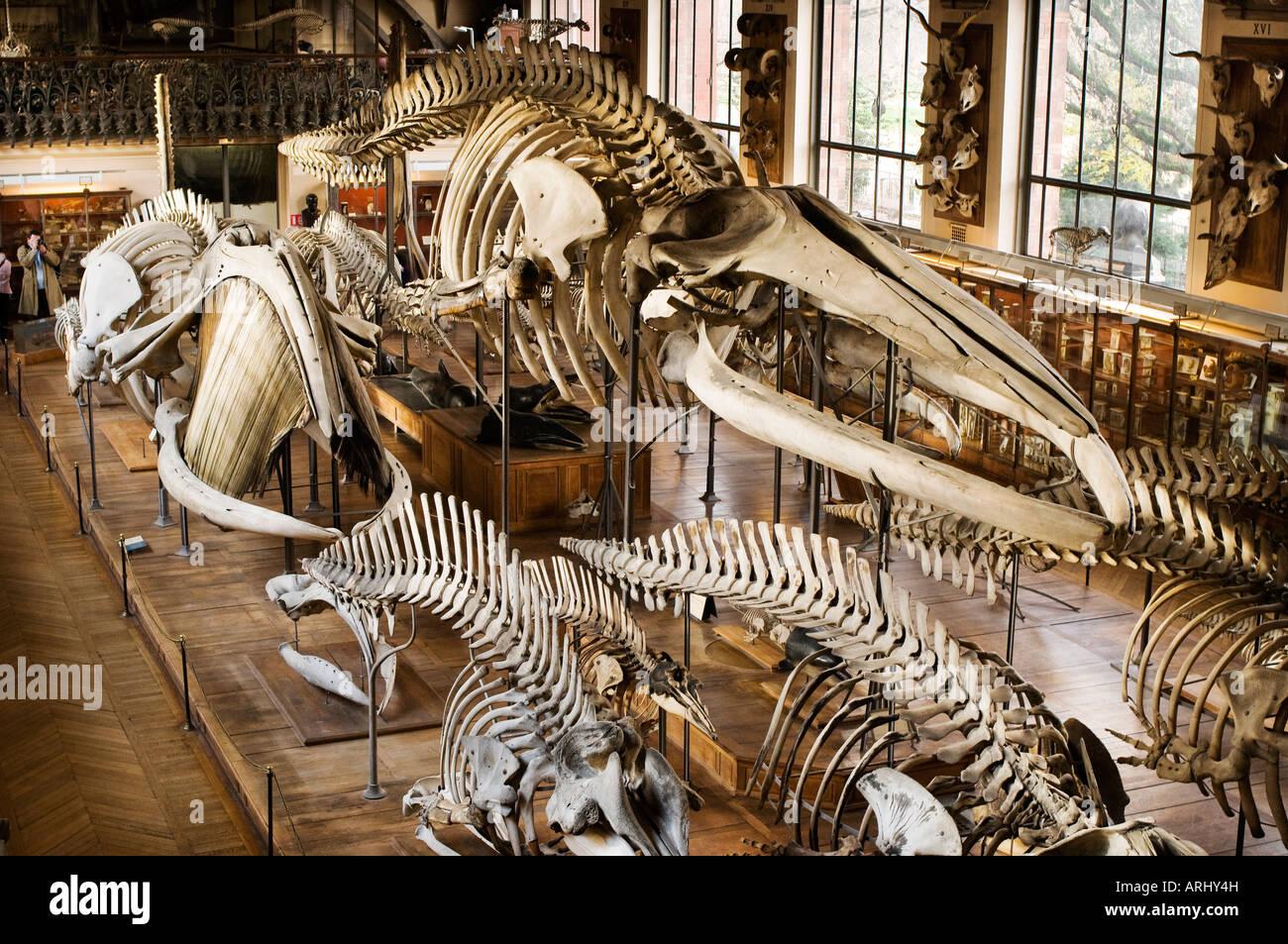 Una exposición de huesos y esqueletos en la paleontología y la ...