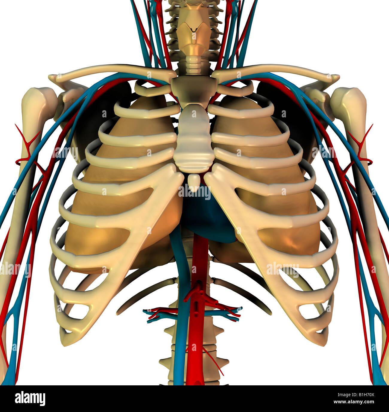 Anatomía del corazón Circulación pulmones Foto & Imagen De Stock ...