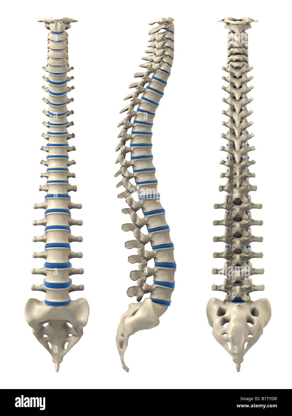 columna vertebral humana Foto & Imagen De Stock: 18373427 - Alamy