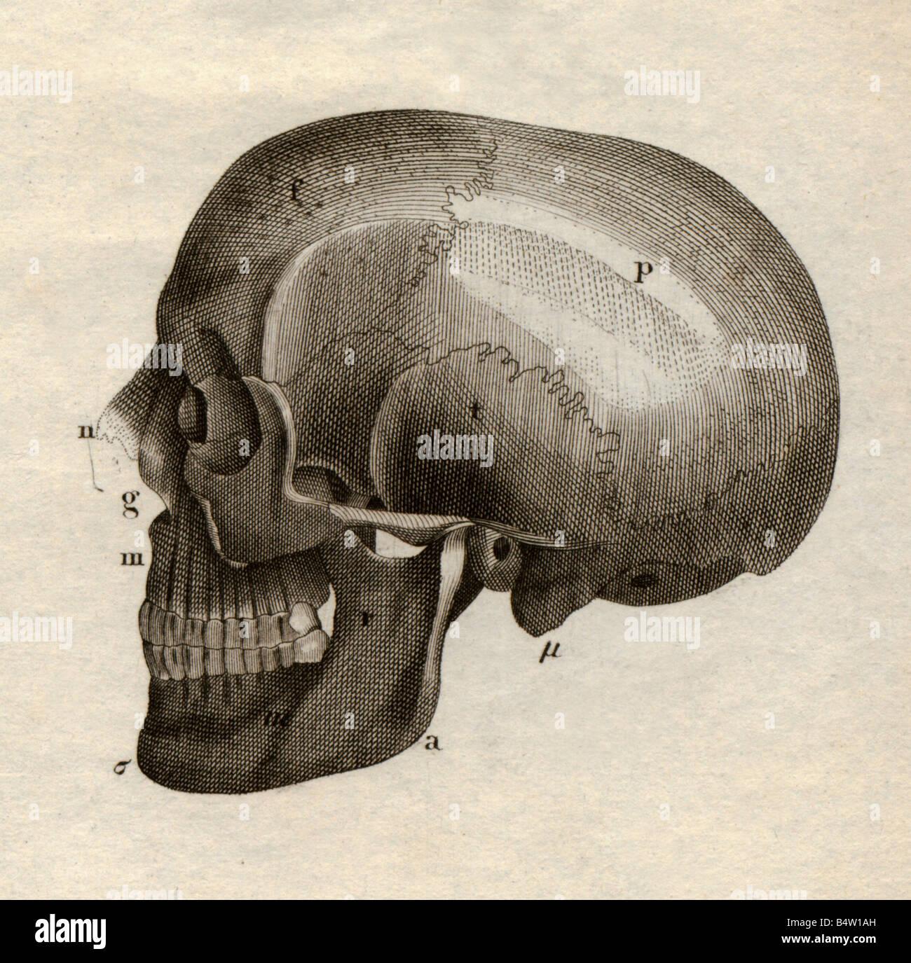 La medicina, anatomía, esqueleto / Huesos, cráneo, vista lateral, de ...