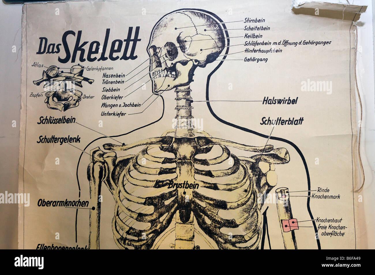 Diagrama antiguo de un esqueleto humano para lecciones escolares ...