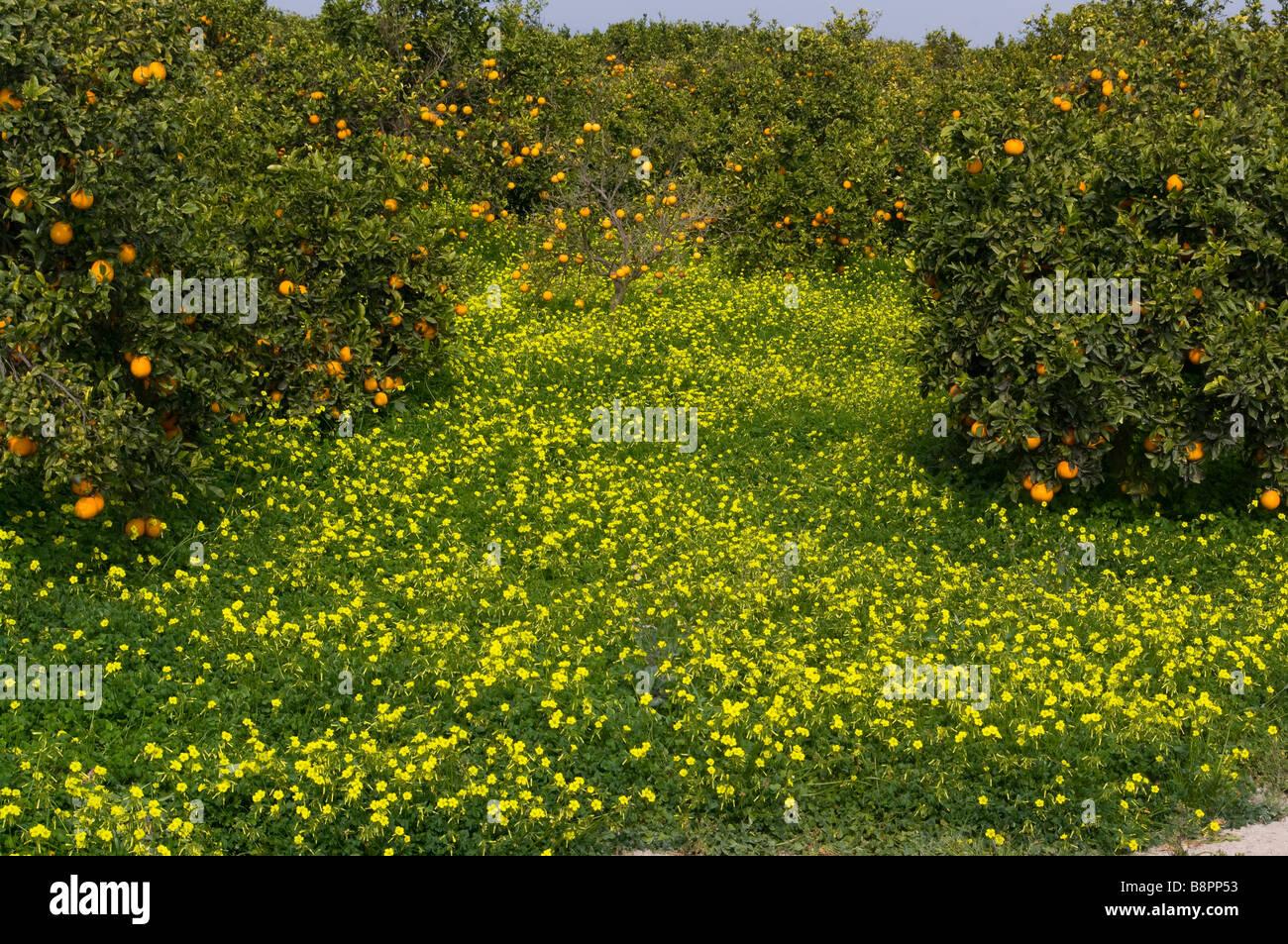 Espanol Naranjas Naranjos Citricos En Campos De Flores Silvestres
