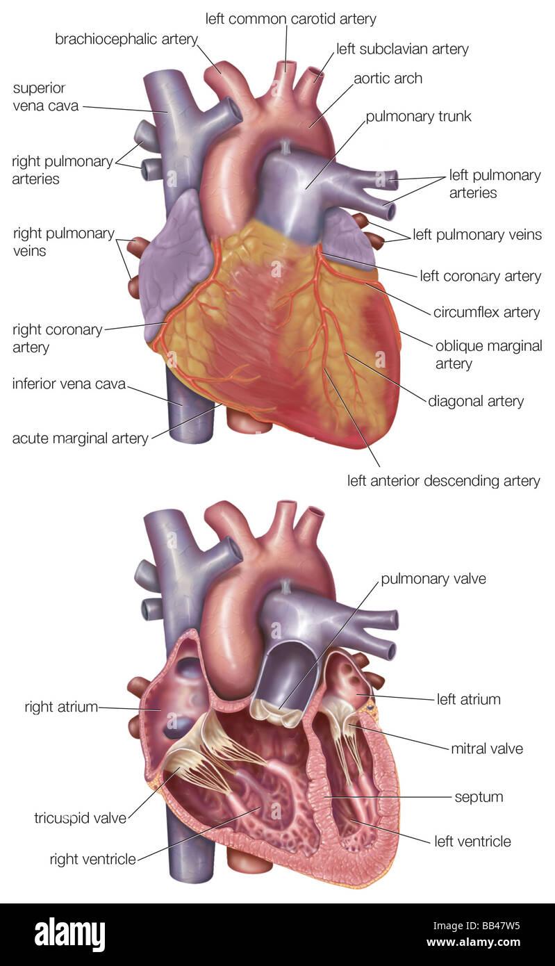 Diagrama que muestra el exterior y un corte transversal del corazón ...