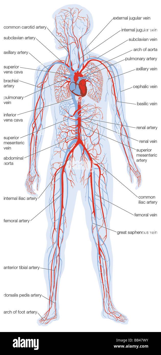 Silueta del cuerpo humano mostrando la ubicación y extensión del ...
