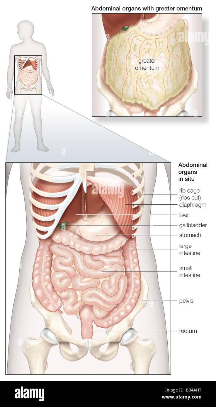Atractivo Diagrama De La Anatomía Abdominal Hembra Colección de ...