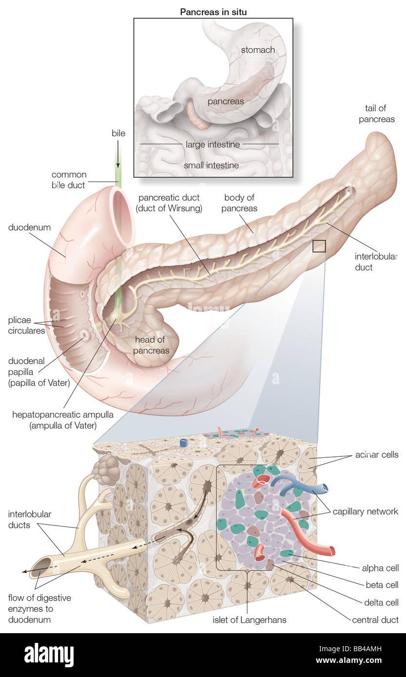 Diagrama detallando las partes del páncreas, así como una ...