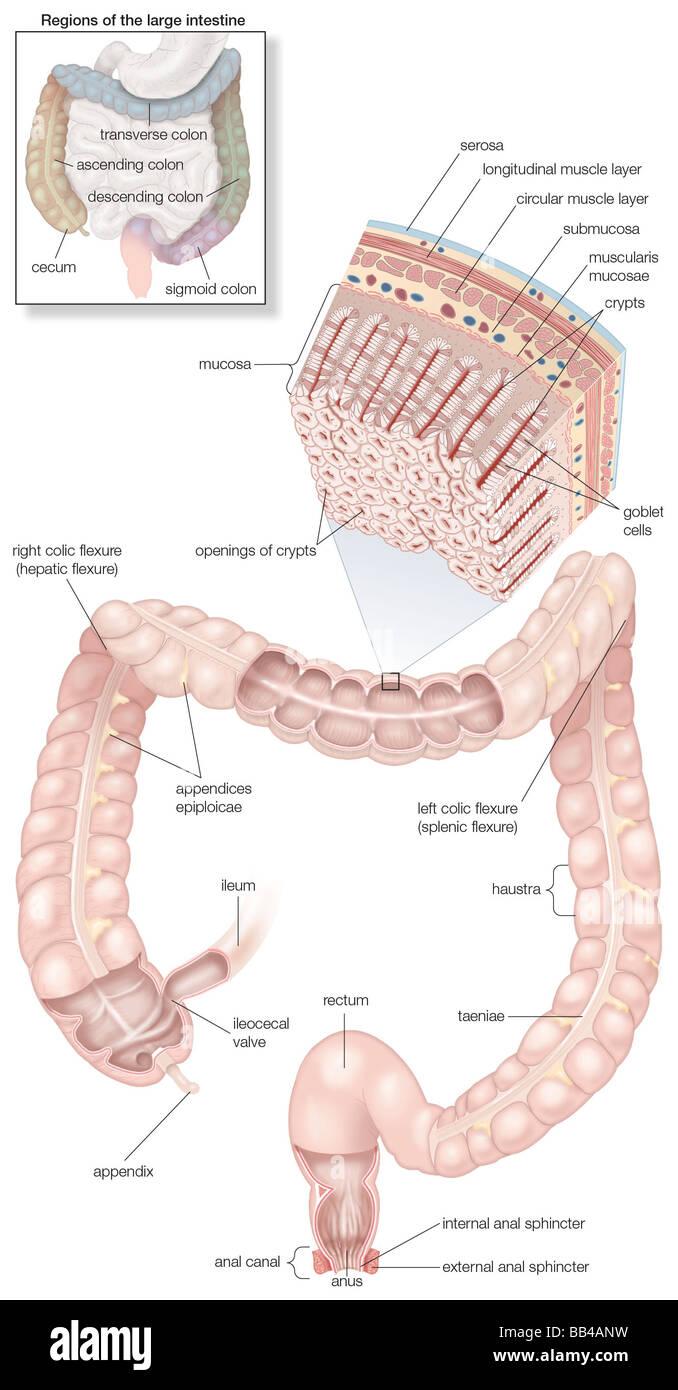 Diagrama del intestino grueso humano, incluidos y recuadro de su ...