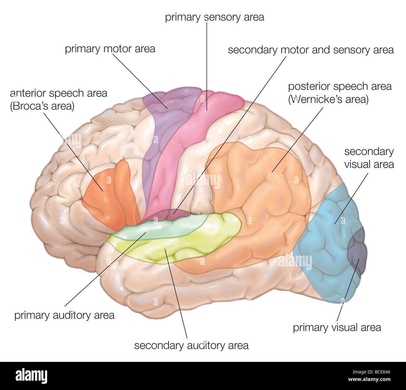 Diagrama de la vista lateral del cerebro humano, mostrando las áreas ...