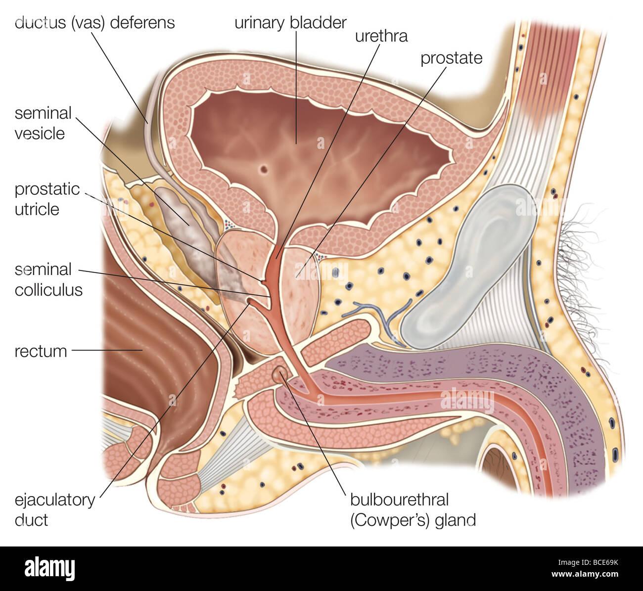 Sección sagital de los órganos reproductores masculinos, mostrando ...