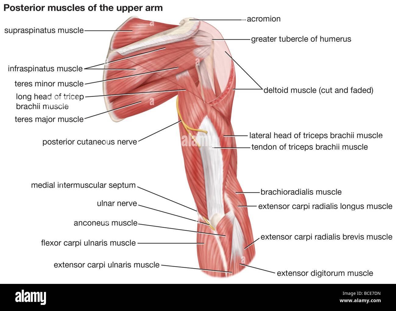 Una vista posterior de los músculos de la parte superior del brazo ...