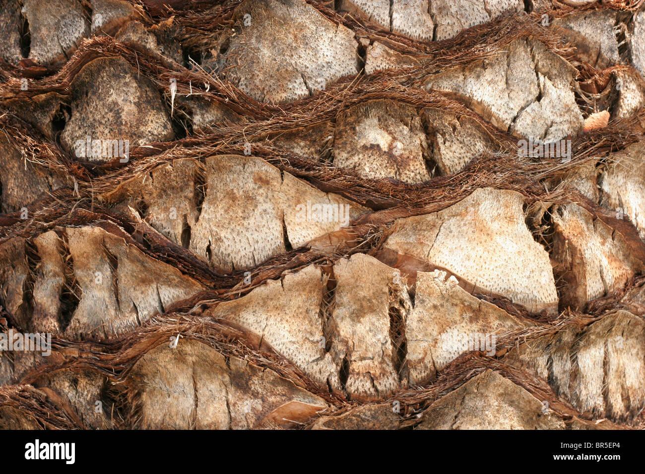 Patrones en la corteza de un árbol de palmera Imagen De Stock