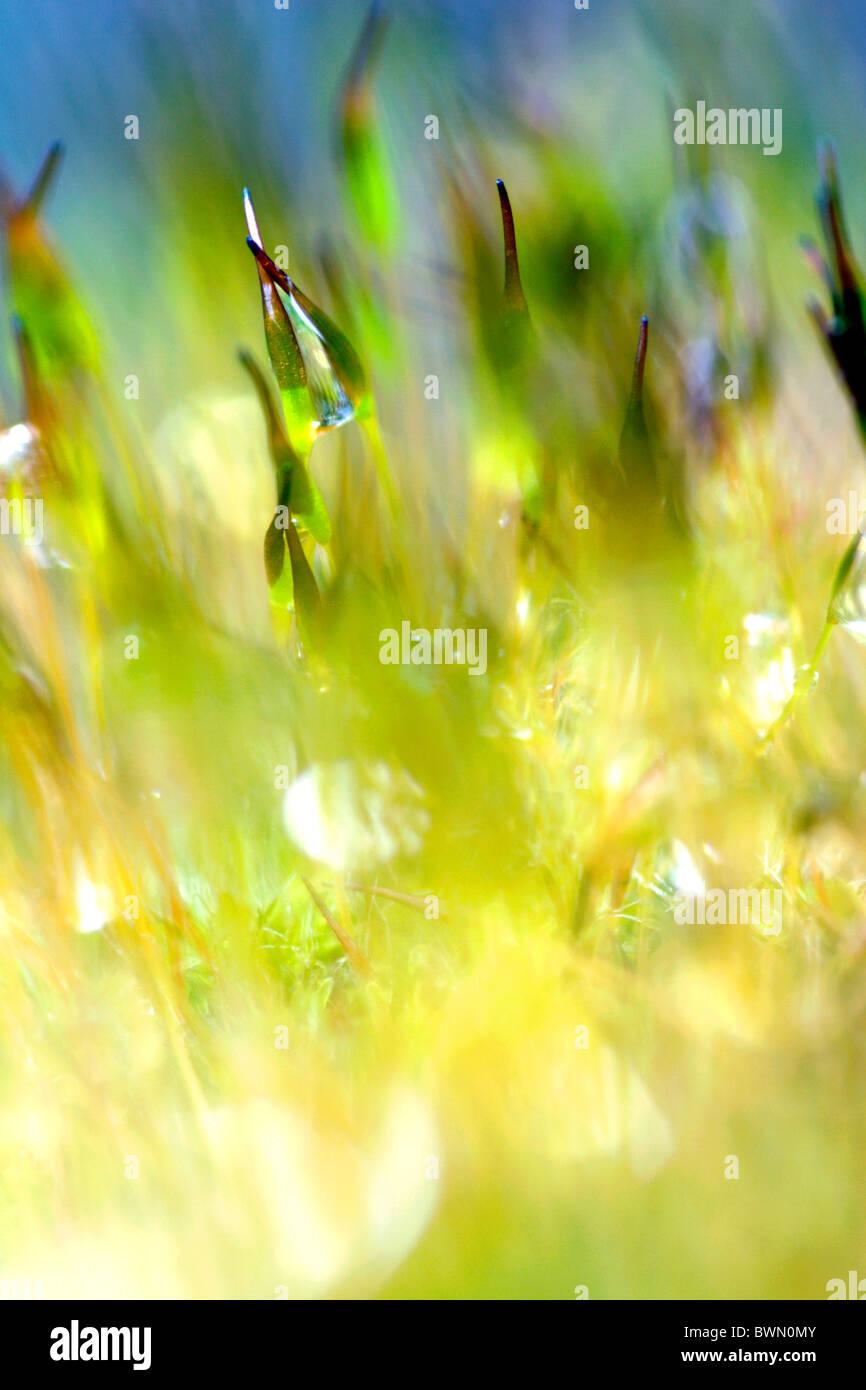 Tornillo de pared moss (Tortula muralis) con esporas de cerca, Inglaterra, Reino Unido. Imagen De Stock