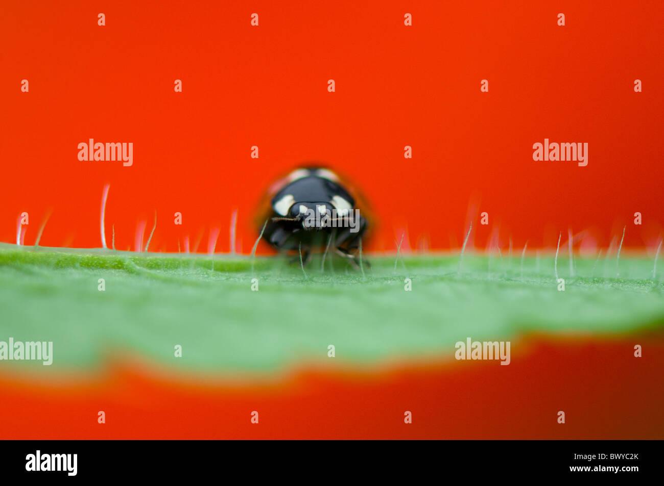 Cerca, imagen macro de una 7-spot mariquita - coccinella septempunctata descansando sobre el rojo vibrante pétalo Imagen De Stock