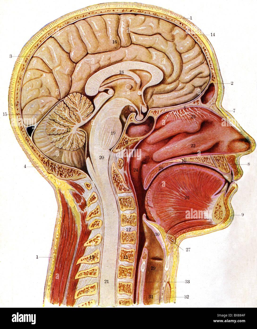 La medicina, la anatomía, los músculos, la musculatura del cuerpo ...