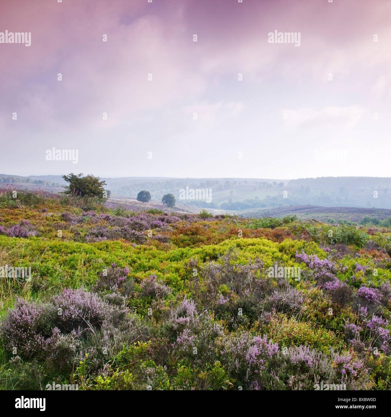 Heather Bilbury brezales en verano tardío Cannock Chase Country Park AONB (zona de excepcional belleza natural) Imagen De Stock