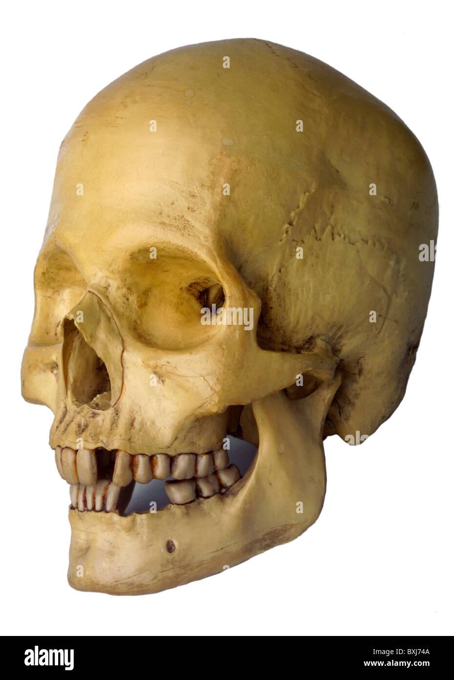 La medicina, la anatomía, la calavera humana natural, ejemplo ...
